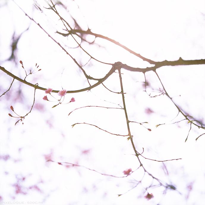 Hasselblad_sakura_03.jpg