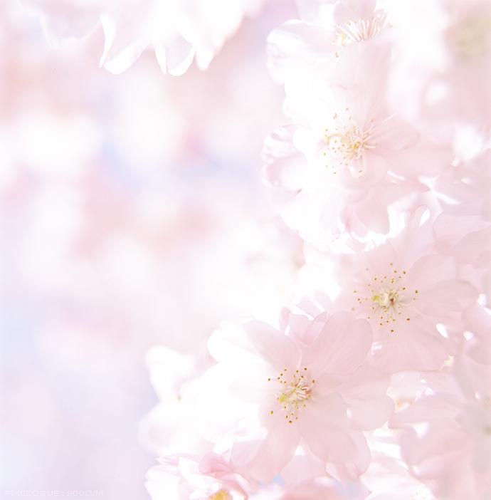 Hasselblad_sakura_2012_02.jpg