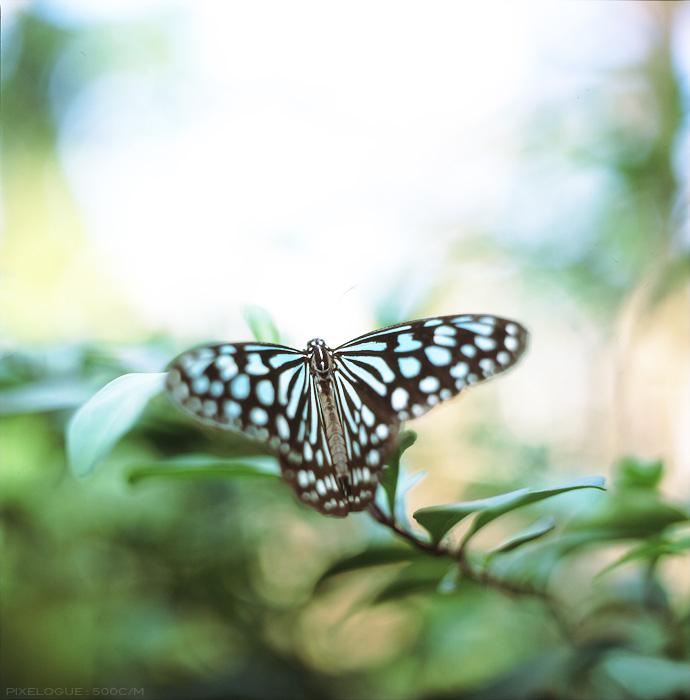 hassel_butterfly_8.jpg